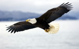 bald_eagle-1541817